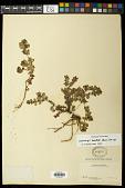 view Euphorbia mendezii Boiss. digital asset number 1