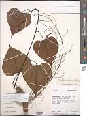 view Aristolochia cremersii Poncy digital asset number 1