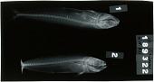 view Coryphaena hippurus digital asset number 1