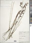 view Rhynchospora rugosa (Vahl) Gale digital asset number 1