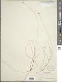view Carex tenuiflora Wahlenb. digital asset number 1