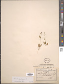 view Diascia clanwilliamensis K.E. Steiner, ined. digital asset number 1
