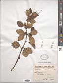 view Peperomia samoensis Warb. digital asset number 1