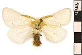 view Tussock Moth digital asset number 1