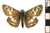 view Common Checkered Skipper digital asset number 1