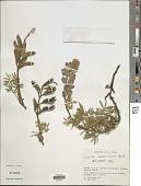 view Lupinus ramosissimus digital asset number 1