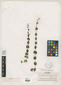 view Cynoctonum sessilifolium J.F. Gmel. digital asset number 1