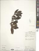 view Alyxia spicata Aiton digital asset number 1