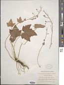 view Tiarella unifoliata Hook. digital asset number 1