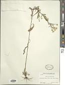view Symphyotrichum pilosum (Willd.) G.L. Nesom digital asset number 1