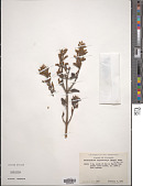 view Dendrophthora chrysostachya Urb. digital asset number 1