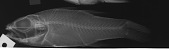 view Pristiapogon fraenatus digital asset number 1