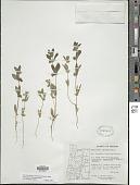 view Trichostema oblongum Benth. digital asset number 1