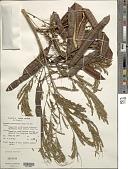 view Leucaena leucocephala (Lam.) de Wit digital asset number 1