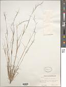 view Aristida basiramea Engelm. ex Vasey digital asset number 1