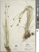 view Carex subfusca W. Boott digital asset number 1