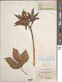 view Jatropha gossypiifolia var. staphysagrifolia (Mill.) Müll. Arg. digital asset number 1