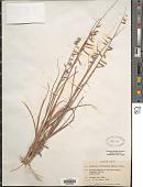view Bouteloua curtipendula (Michx.) Torr. digital asset number 1