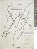 view Poincianella glandulosa (Bertero ex DC.) Britton & Rose digital asset number 1