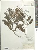 view Acacia decurrens var. dealbata (Link) Maiden ex F. Muell. digital asset number 1