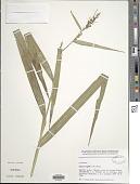 view Scleria vogelii C.B. Clarke digital asset number 1