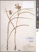view Tradescantia ohiensis Raf. x T. occidentalis (Britton) Smyth var. occidentalis digital asset number 1