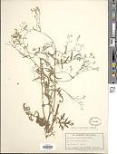 view Parthenium hysterophorus L. digital asset number 1