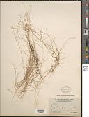 view Eragrostis ciliaris var. laxa Kuntze digital asset number 1