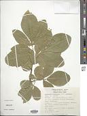 view Esenbeckia berlandieri subsp. litoralis (Donn. Sm.) Kaastra digital asset number 1