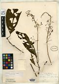 view Hansteinia crenulata Britton ex Rusby digital asset number 1