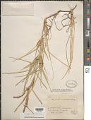 view Stenotaphrum secundatum (Walter) Kuntze digital asset number 1