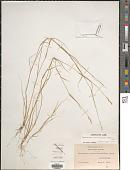 view Sporobolus vaginiflorus (Torr. ex A. Gray) Alph. Wood digital asset number 1