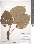 view Anthurium debilis Croat & D.C. Bay digital asset number 1