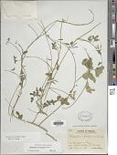 view Phaseolus filiformis Benth. digital asset number 1