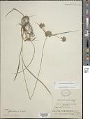 view Cyperus lupulinus (Spreng.) Marcks digital asset number 1
