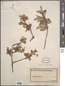 view Prunus intermedia Poir. digital asset number 1