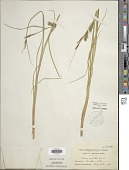 view Carex exsiccata L.H. Bailey digital asset number 1