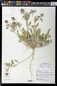 view Oenothera deltoides Torr. & Frém. subsp. deltoides digital asset number 1