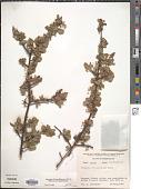 view Wimmeria microphylla Radlk. digital asset number 1