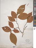 view Ostrya virginiana (Mill.) K. Koch digital asset number 1