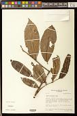 view Tapura guianensis Aubl. digital asset number 1