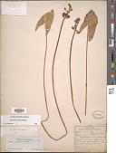 view Sagittaria cuneata E. Sheld. digital asset number 1