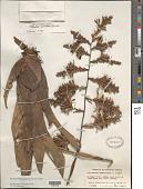 view Racinaea spiculosa (Griseb.) M.A. Spencer & L.B. Sm. digital asset number 1
