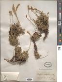 view Petrophytum caespitosum (Nutt.) Rydb. digital asset number 1