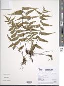 view Asplenium salicifolium L. digital asset number 1