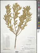 view Monnina crassifolia (Bonpl.) Kunth digital asset number 1