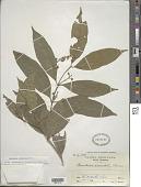 view Bunchosia lindeniana A. Juss. digital asset number 1
