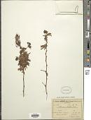 view Calliandra umbellifera Benth. digital asset number 1
