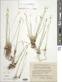 view Trichophorum alpinum (L.) Pers. digital asset number 1