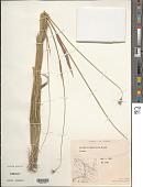 view Hordeum brachyantherum Nevski digital asset number 1